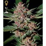 BUBBA KUSH Green House Seeds