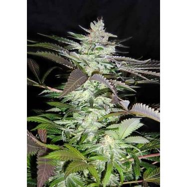 BLACK JACK Sweet Seeds Feminizadas