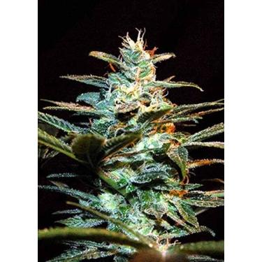 ICE COOL Sweet Seeds Feminizadas