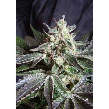 BLACK JACK FAST VERSION Sweet Seeds Feminizadas