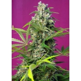 GORILLA GIRL Sweet Seeds Feminizadas