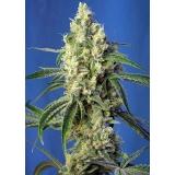 GREEN POISON CBD Sweet Seeds Feminizadas