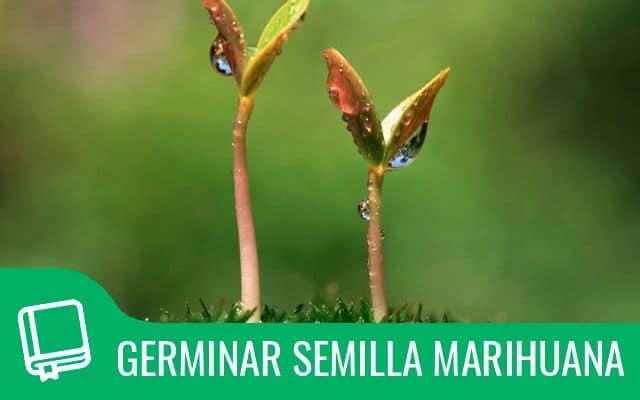 Germinar semillas marihuana 1