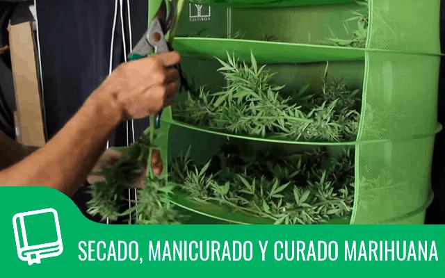 Secado, manicurado y curado de marihuana