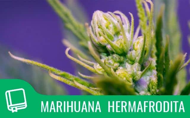 Hermafrodita marihuana