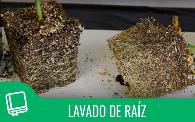 Lavado de raiz en plantas de marihuana