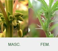 La genética de la marihuana 4