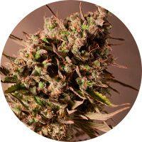 La genética de la marihuana 2