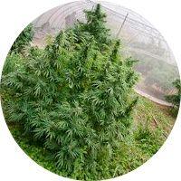 Consejos para aumentar la producción de cannabis en exterior 2