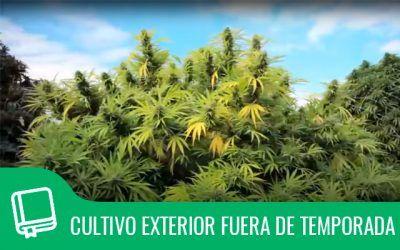 Cultivo exterior de marihuana fuera de temporada
