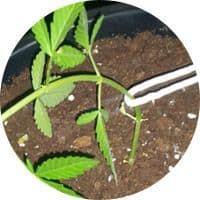Técnicas de poda en las plantas de marihuana 7