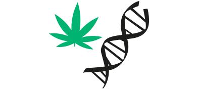 La genética de la marihuana 7