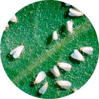 ¿Qué es la mosca blanca y cómo eliminarla? 2