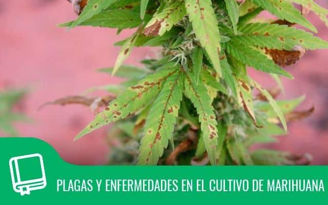 Plagas y enfermedades en el cultivo de marihuana