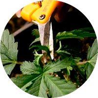 Técnicas de poda en las plantas de marihuana 2