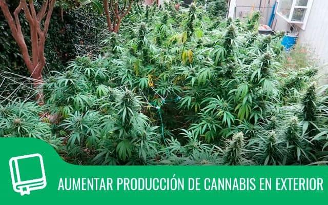 Como aumentar producción del cannabis en el exterior